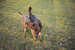 Holländische Schäferhunde Lizenzfreie Stockfotografie