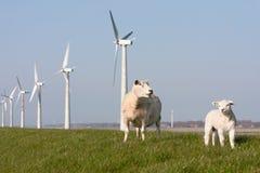 Holländische Windmühle und Schafe Lizenzfreies Stockfoto