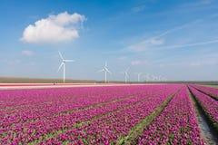 Holländisches purpurrotes Tulpefeld mit windturbines Lizenzfreie Stockfotografie