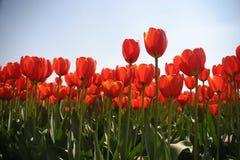 Holländisches Tulpefeld Stockbilder