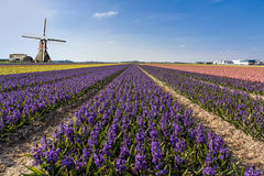Holländsk hyacinthebullblantgård Fotografering för Bildbyråer