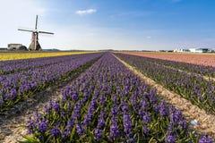 Holländsk hyacinthebullblantgård Arkivbilder