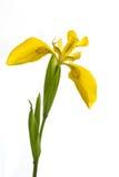 holländsk iris isolerad white Royaltyfria Bilder