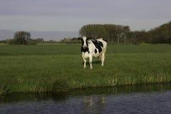 Holländsk ko för lantgård med blått- och gräsplanbakgrund Fotografering för Bildbyråer
