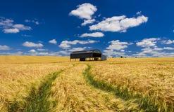 Holländsk ladugård i ett mognande skördfält i Dorset Arkivfoto