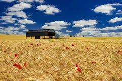 Holländsk ladugård i ett mognande skördfält i Dorset Arkivfoton