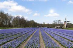 Holländsk purpurfärgad hyacinthebullblantgård Royaltyfria Bilder