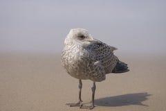 Holländsk seagull på Zandvoort, Nederländerna Arkivfoton