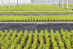 Holländsk trädgårdsnäring med cypresses i ett växthus fotografering för bildbyråer