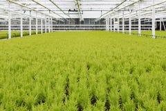 Holländsk trädgårdsnäring med cypresses i ett växthus royaltyfria bilder