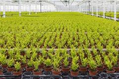 Holländsk trädgårdsnäring med cypresses i ett växthus royaltyfria foton