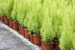 Holländsk trädgårdsnäring med cypresses i ett växthus arkivbilder