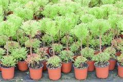 Holländsk trädgårdsnäring med cypresses i ett växthus royaltyfri bild