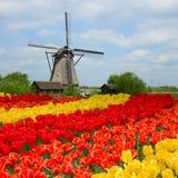 Holländsk väderkvarn över tulpanfält Royaltyfri Fotografi