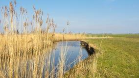 Holländsk waterlandscape med vassen längs vattnet Royaltyfri Fotografi