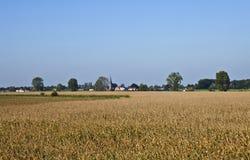 Holländsk Wheatfield i sommaren Royaltyfri Foto