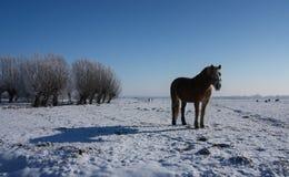 Holländsk winterlandscape med hästen Fotografering för Bildbyråer