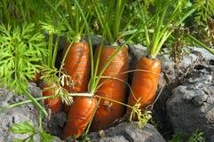 Holländska morötter för Closeup i jorden i morotfält fotografering för bildbyråer