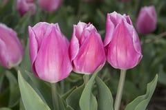 holländska rosa tulpan Fotografering för Bildbyråer
