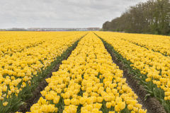 Holländska tulpan Royaltyfria Foton