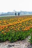 Holländska tulpanfält med arbetare i bakgrunden Royaltyfri Fotografi