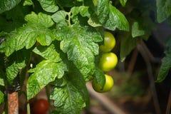 Holländskt bio lantbruk, stort växthus med tomatväxter som in växer royaltyfria bilder
