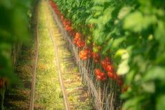 Holländskt bio lantbruk, stort växthus med tomatväxter som in växer fotografering för bildbyråer