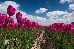 Holländskt purpurfärgat tulpanfält Arkivbild