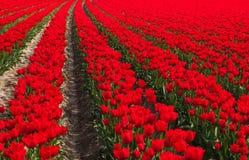 Holländskt rött tulpanfält Arkivfoto