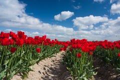 Holländskt rött tulpanfält Arkivfoton