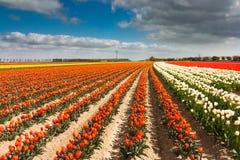 Holländskt tulpanfält Royaltyfria Foton