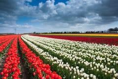 Holländskt tulpanfält Arkivbild