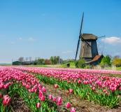 Holländskt väderkvarn- och tulpanfält Arkivfoto