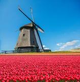 Holländskt väderkvarn- och tulpanfält Arkivbild