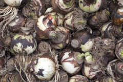 Holland, Amsterdam, Flowers Market, Lily bulbs (Amaryllis) for s Stock Photos