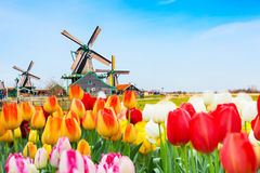 Holland background panorama with tulips and green windmill in traditional village in Holland. Holland background panorama with tulips and green windmill in Stock Photo