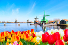 Holland background panorama with tulips and green windmill in traditional village in Holland. Holland background panorama with tulips and green windmill in Royalty Free Stock Photo