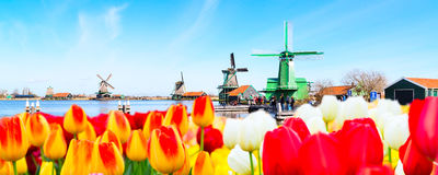 Holland background panorama with tulips and green windmill in traditional village in Holland. Holland background panoramic banner with tulips and green windmill Royalty Free Stock Photography