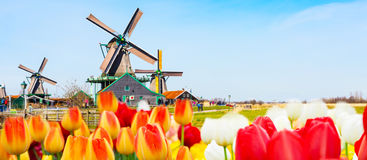 Holland background panorama with tulips and green windmill in traditional village in Holland. Holland background panoramic banner with tulips and green windmill Stock Images