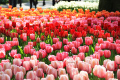 Holland beautiful vivid tulip fields Stock Image