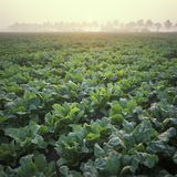 Holland, beet's field at sunrise royalty free stock images