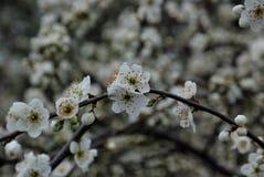 Holland Blossom Royalty-vrije Stock Afbeelding
