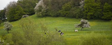 Holland cows grassing Stock Image