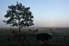 Holland. Cows in the morning in Holland Royalty Free Stock Images