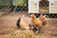 Holland dwarf rooster red crested and 2 dwarf hens. In a coop behind a metallic fence Royalty Free Stock Photo