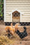 Holland dwarf rooster red crested and 2 dwarf hens. In a coop behind a metallic fence Stock Photos