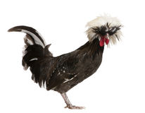 Holland dwarf rooster white-crested chicken, 5 mon Stock Photo