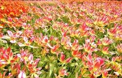 Holland Flowers Image libre de droits