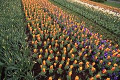 Holland Flowers Imágenes de archivo libres de regalías