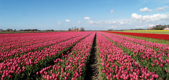 Holland Harvest. Wide landscape shot of the famous tulip fields in Egmond (the Netherlands Royalty Free Stock Photo